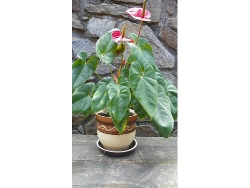 Květník buclák prům.24cm.Část.glazovaný.